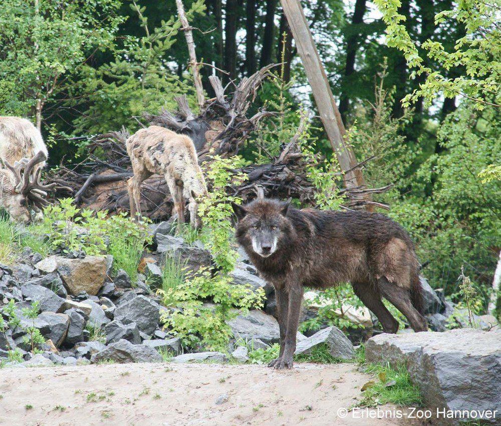 Wölfe, Bisons und Karibus
